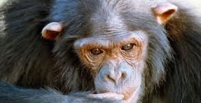 Natasha-chimpanzee